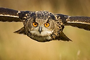 European Eagle Owl Portrait in Flight