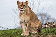 Sitting African Lioness
