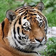 Tiger (Panthera tigris)