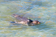 Harbor Seal swimming with Pup