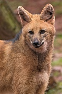 Maned Wolf Portrait Close Up