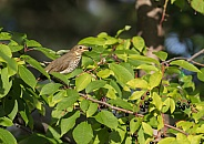 Swainson's Thrush in a Chokecherry Tree