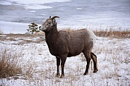 Bighorn Sheep in the wild.