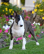 Portrait of a bull terrier by flowers