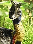 Cassowary