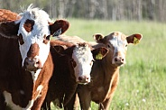 cow 11