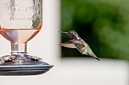 Male Anna's Hummingbird in flight