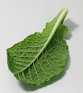 Primrose leaf