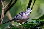 Peaceful Dove