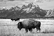 Bison Trio in Grand Teton National Park