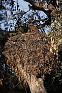 Hamercop (Scopus umbretta) on its nest - Botswana