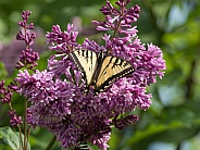 Swallowtail Butterfly on Lilac Flowers in Alaska