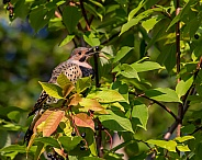 Yellow-shafted Northern Flicker Eating Chokecherries