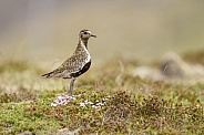 The European golden plover