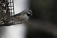 Boreal Chickadee Posing at the Bird Feeder