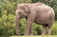 Asiatic Elephant Full Body Side Profile