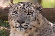 Snow Leopard Close Up Face Shot