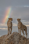 Cheetahs under the Rainbow