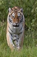 Siberian tiger walking through grass