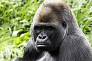 Western Lowland Gorilla Close Up Face Shot