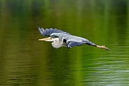 A Grey Heron in flight.