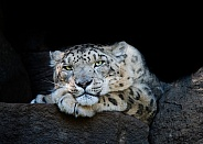 Snow Leopard. Leon - Profile