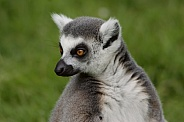 Ring Tailed Lemur