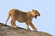 Little cub on rock