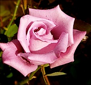 Morning Dew on a Pink Rose