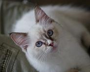 Ragdol Kitten