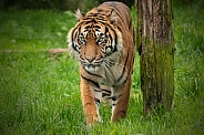 Sumatran Tiger Full Body Standing