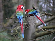 Red and green Macaw  (Ara chloropterus)