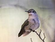 Female Anna's Hummingbird Closeup