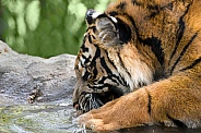 Sumatran Tiger - 1 Year Old Cub - Male