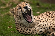 Cheetah Lying Down Yawning Mouth Open