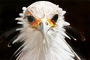 Secretary Bird Close Up Face Shot