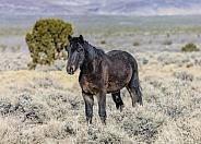 Nevada wild horse in the desert