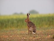 European Brown Hares