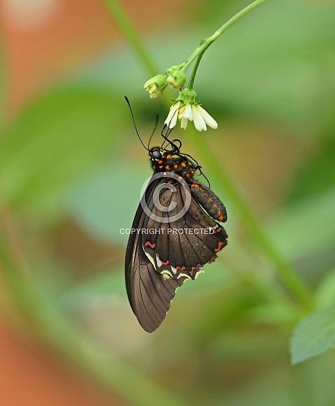 Cattleheart Butterfly