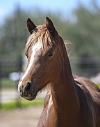 Head shot photograph of a young Arabian horse