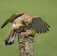 Female Common Kestrel Eating