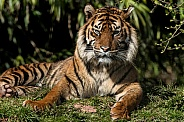 Sumatran Tiger Lying Down In Sunshine