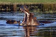 Pod of Hippopotamus (Hippopotamus amphibius)