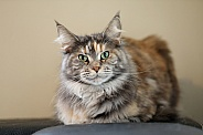 tabby domestic long-haired cat
