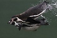 Humboldt Penguin Swimming Underwater