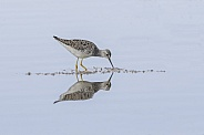 Lesser Yellowlegs in Alaska