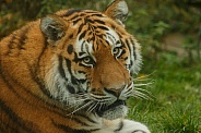 Amur Tiger Looking Over Shoulder At Camera