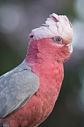 Galah (female)