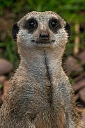 Meerkat Portrait Shot