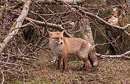 Red Fox (vulpesvulpes)
